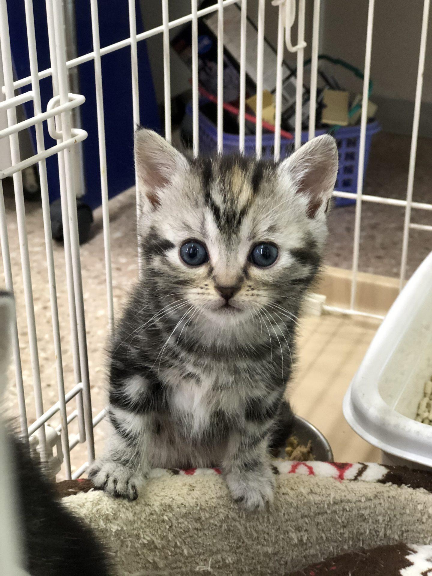 3/16に産まれたアメリカンショートヘアの子猫たち