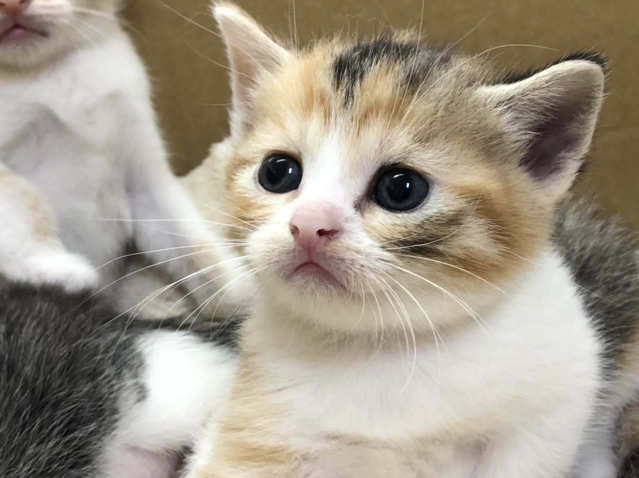 6/28生まれのスコティッシュフォールドの子猫たち