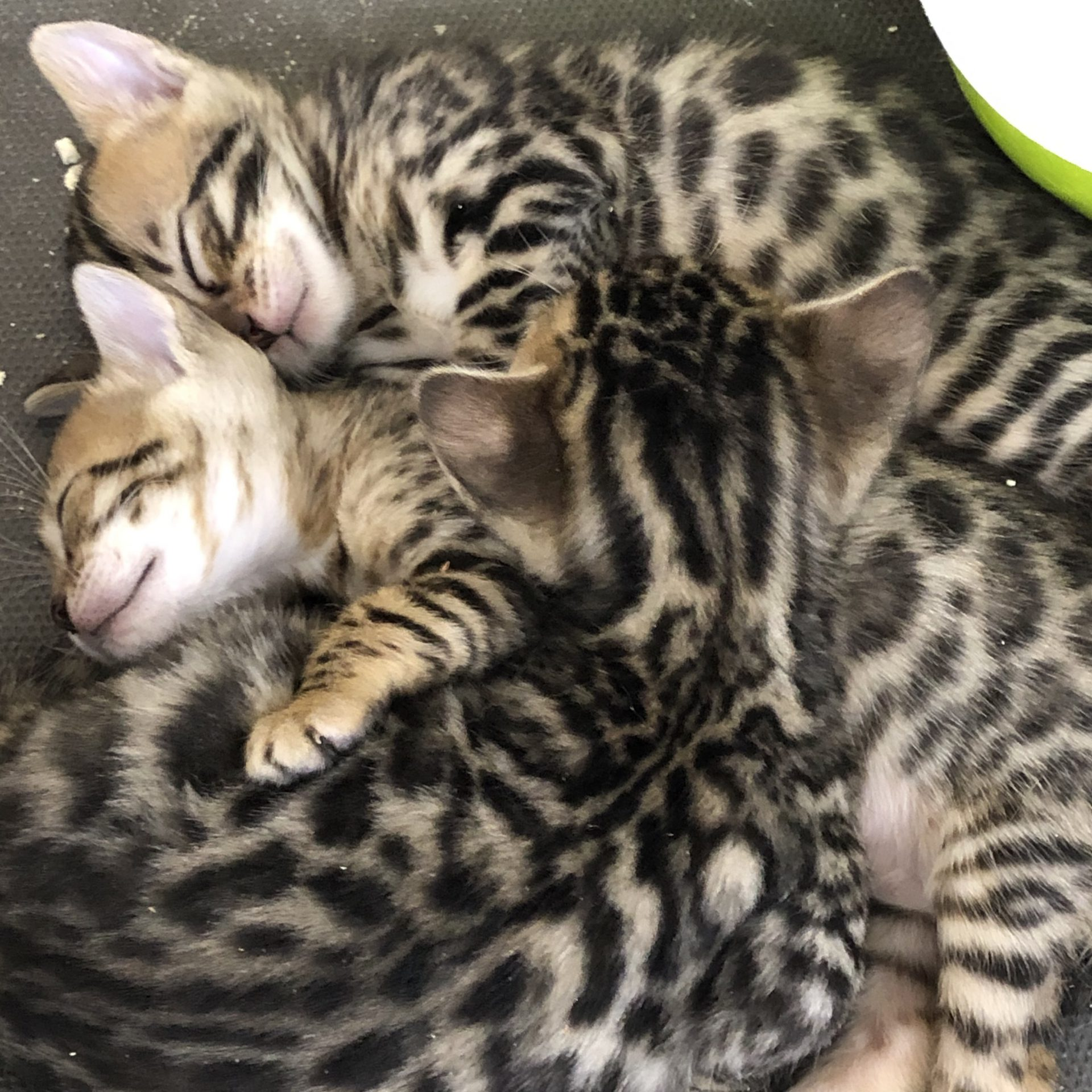 ベンガルの子猫が7頭産まれました(全頭飼い主が決まりました)