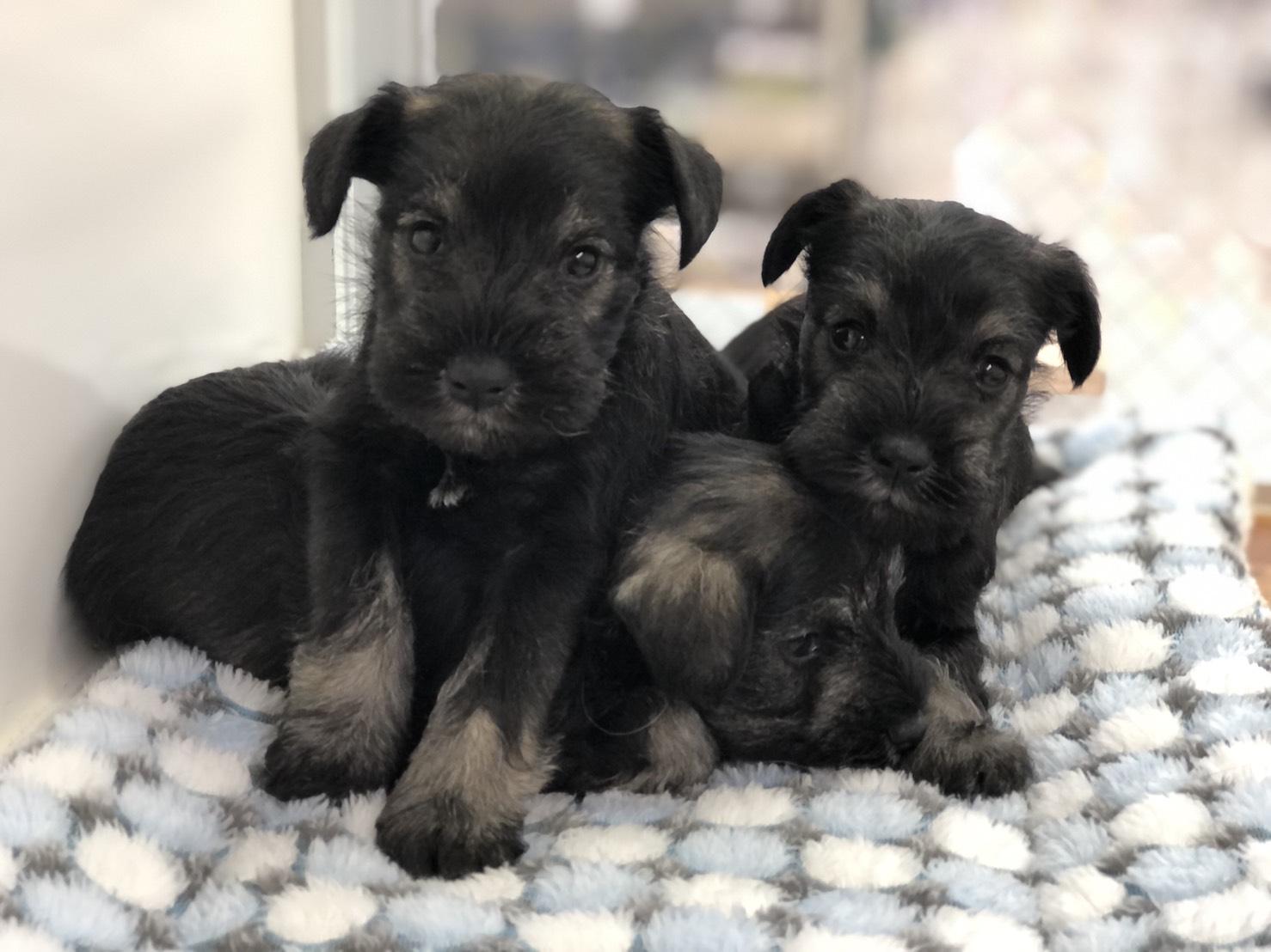 ミニチュアシュナウザーの子犬3頭兄妹