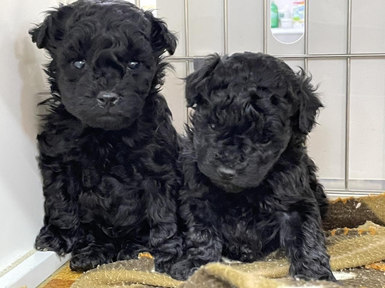 トイプードルのブラックの子犬たち